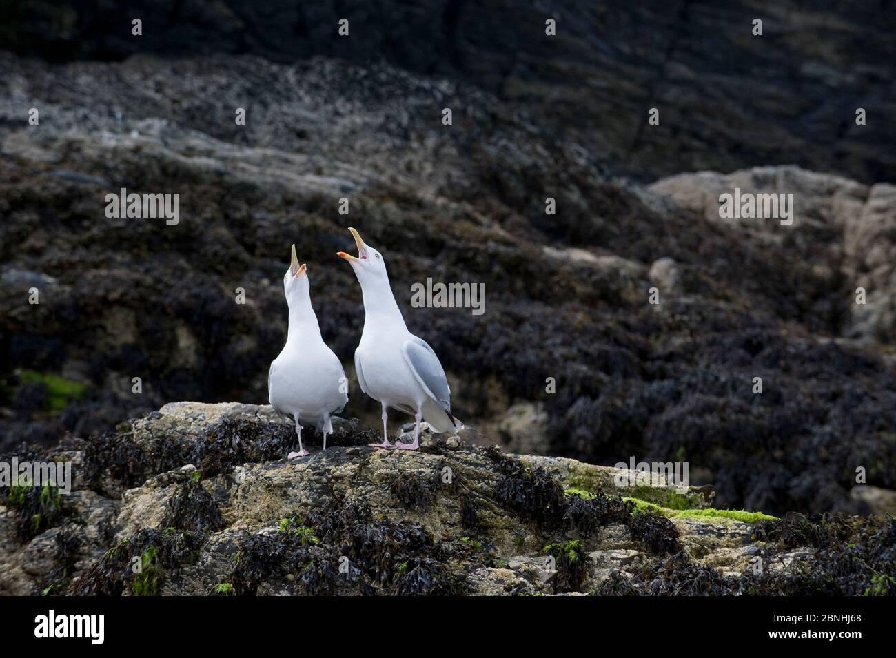 Gabbiani di aringa (Larus argentatus) che si affacciano su una scogliera di mare. Cardigan Bay, Galles. Luglio. Foto Stock