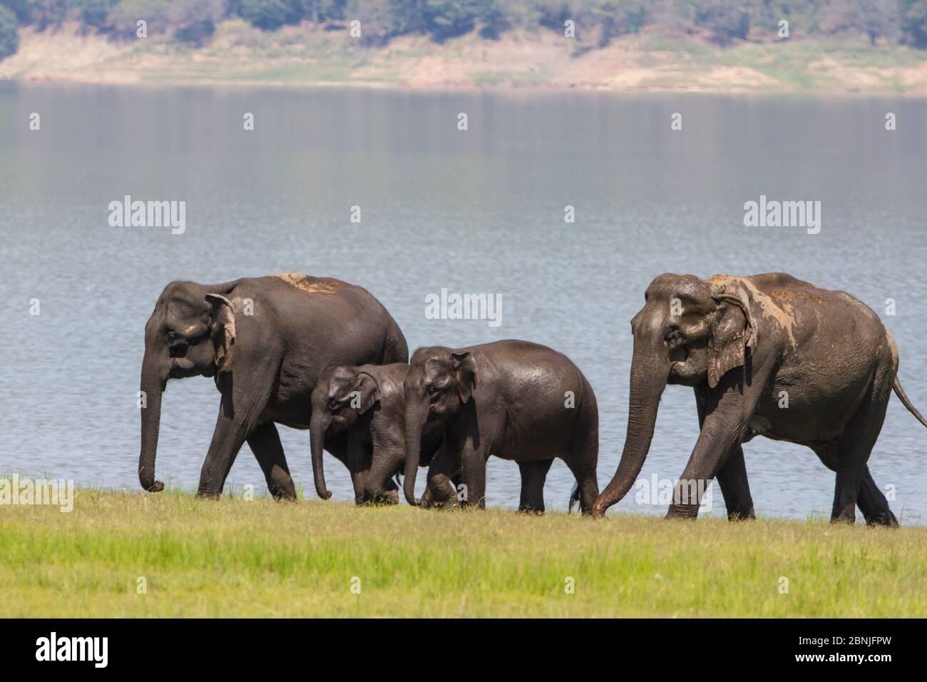 Elefante asiatico (Elephas maximus), famiglia che esce dal lago dopo aver bevuto e fatto il bagno. Jim Corbett National Park, India. Foto Stock
