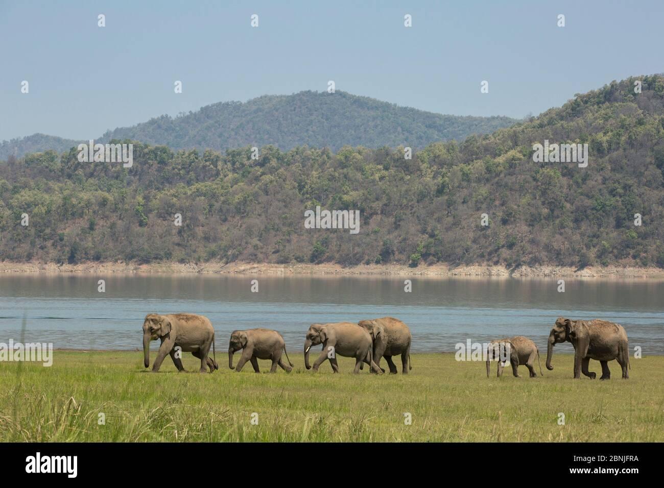 Elefante asiatico (Elefas maximus), mandria che si avvicina al lago per bere acqua. Jim Corbett National Park, India. Foto Stock