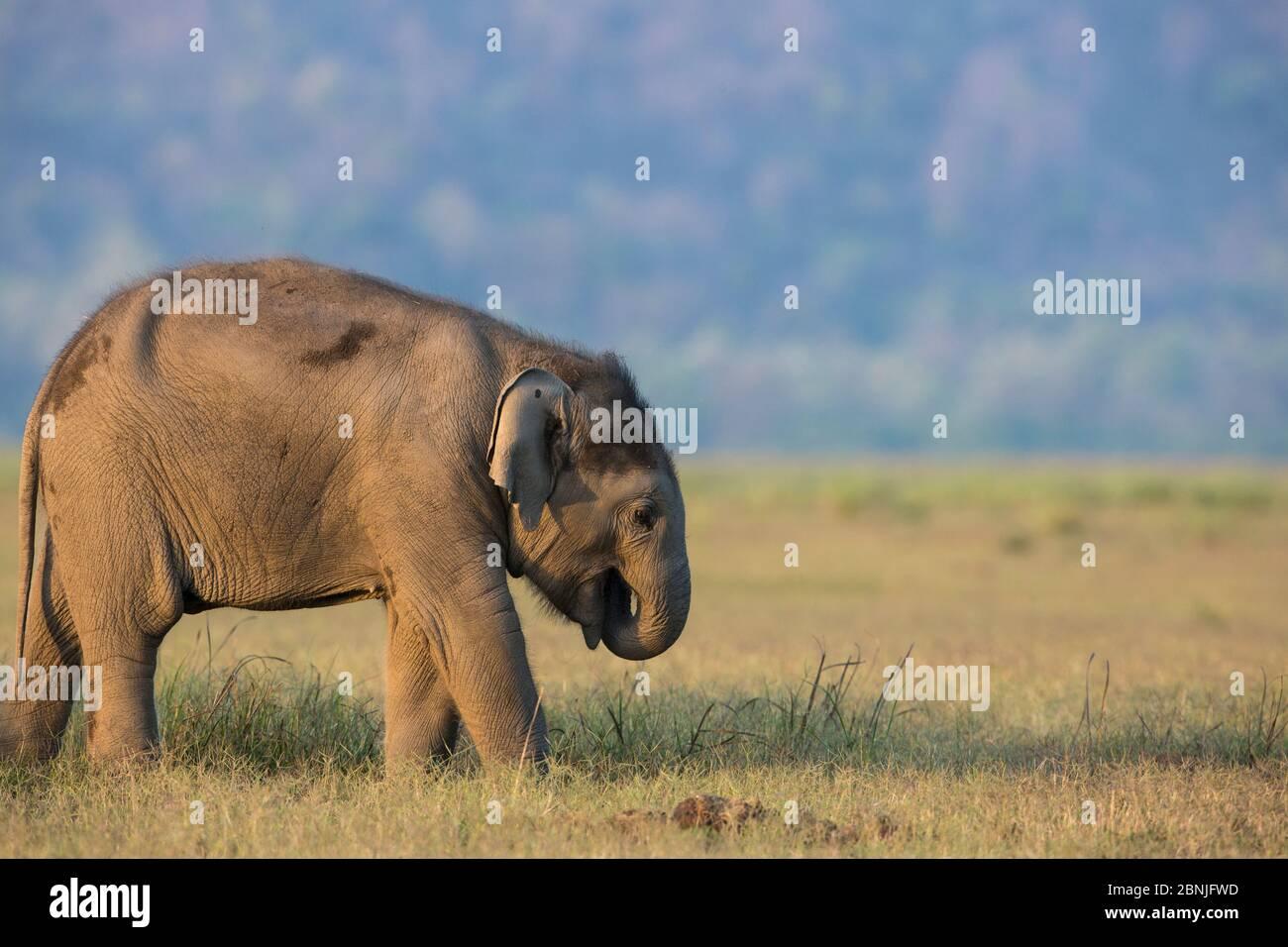Elefante asiatico (Elephas maximus), giovane vitello che si nutre sull'erba, Jim Corbett National Park, India. Foto Stock
