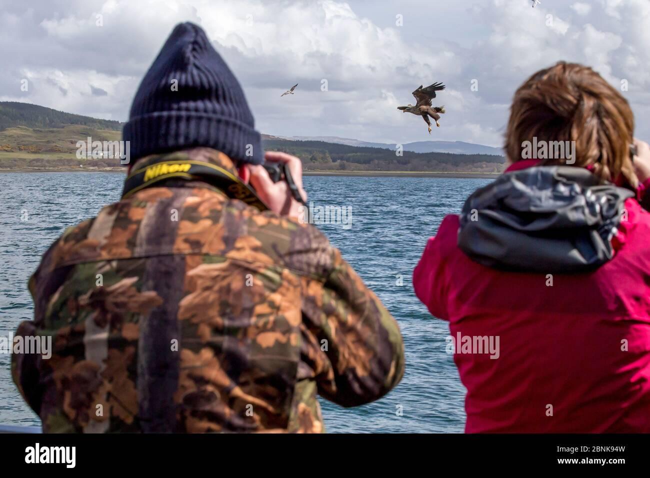 Vista posteriore uomo e donna, fotografando aquila di mare dalla coda bianca (Haliaetus albicilla) che prende pesce, Isola di Mull, Argyll e Bute, Scozia, Regno Unito, maggio. Foto Stock