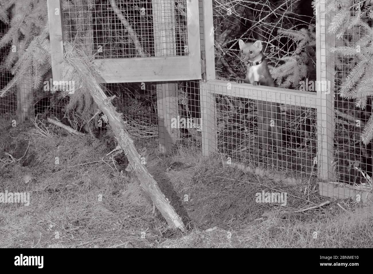 Martes Martes (Martes Martes Martes) maschio radicolato che si prepara ad emergere da una gabbia temporanea a rilascio morbido di notte , durante il progetto di reintroduzione da parte del Foto Stock