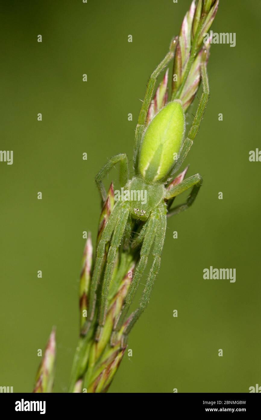 Cacciatore verde (Micrommata virescens), fiume Durance, Francia, maggio. Foto Stock