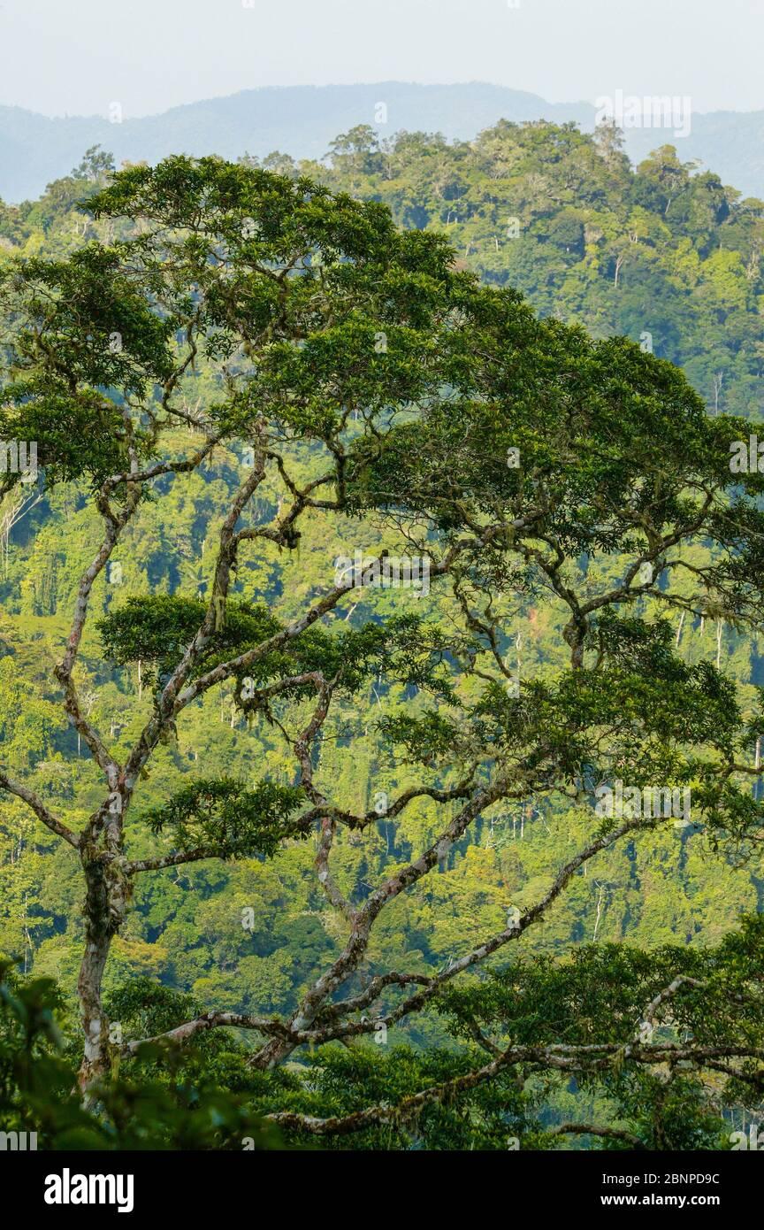 Bellissimi alberi della foresta pluviale a Cerro Pirre, parco nazionale Darien, provincia di Darien, Repubblica di Panama. Foto Stock