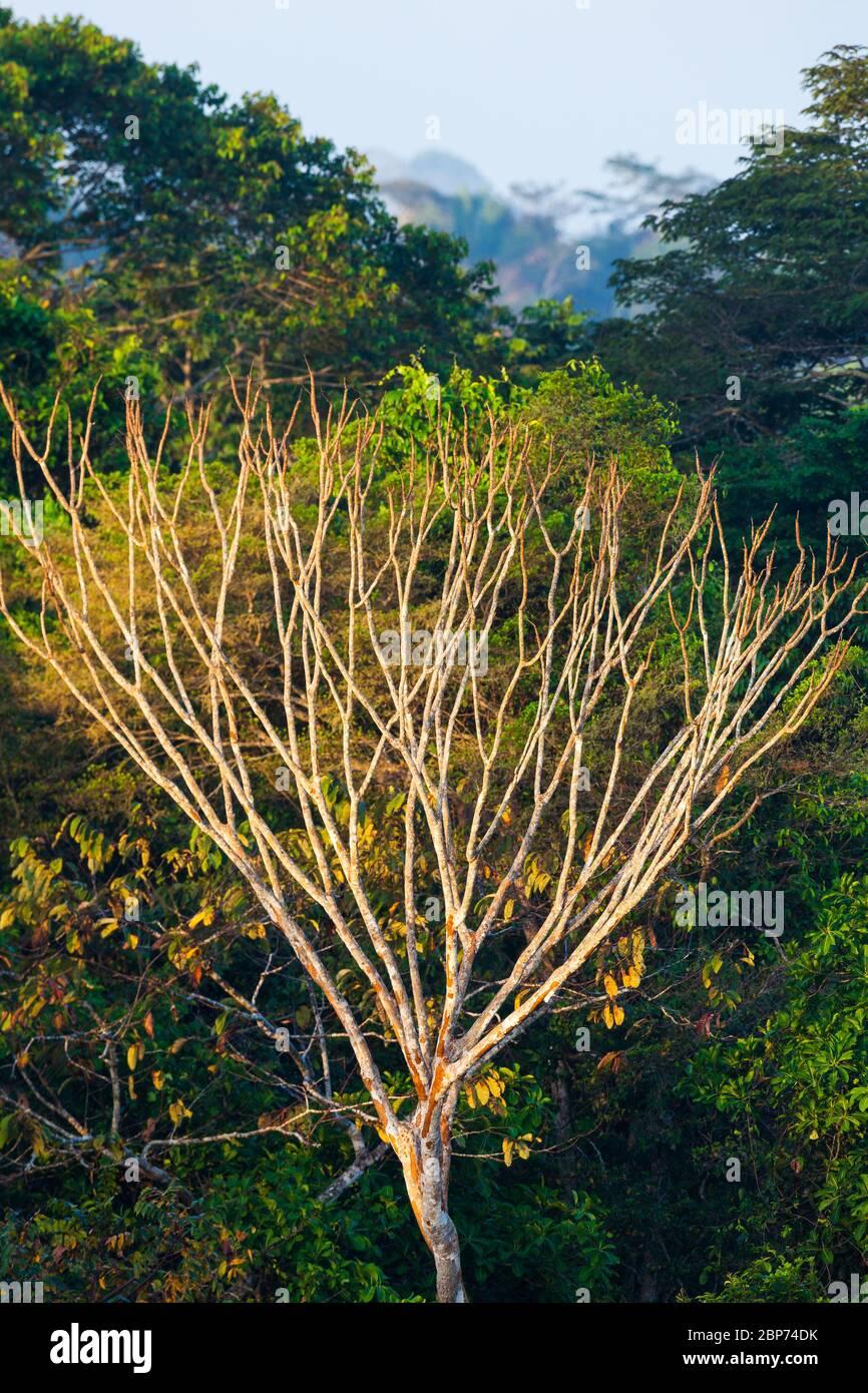 La luce del mattino presto nella foresta pluviale del parco nazionale di Soberania, Repubblica di Panama. Foto Stock