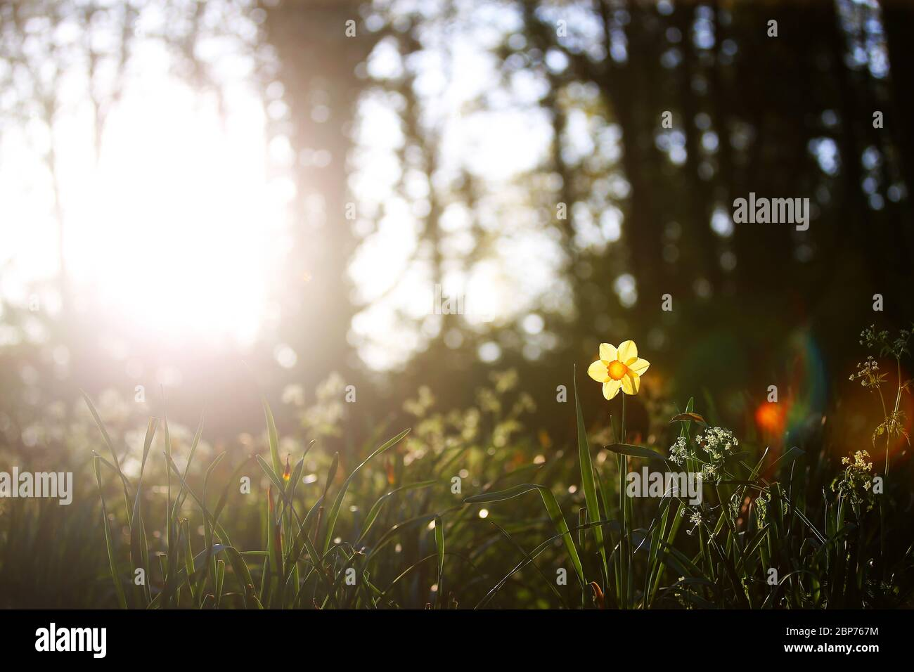 Un daffodil è illuminato dal sole della mattina presto in un parco nella parte orientale di Belfast, Irlanda del Nord. Foto Stock