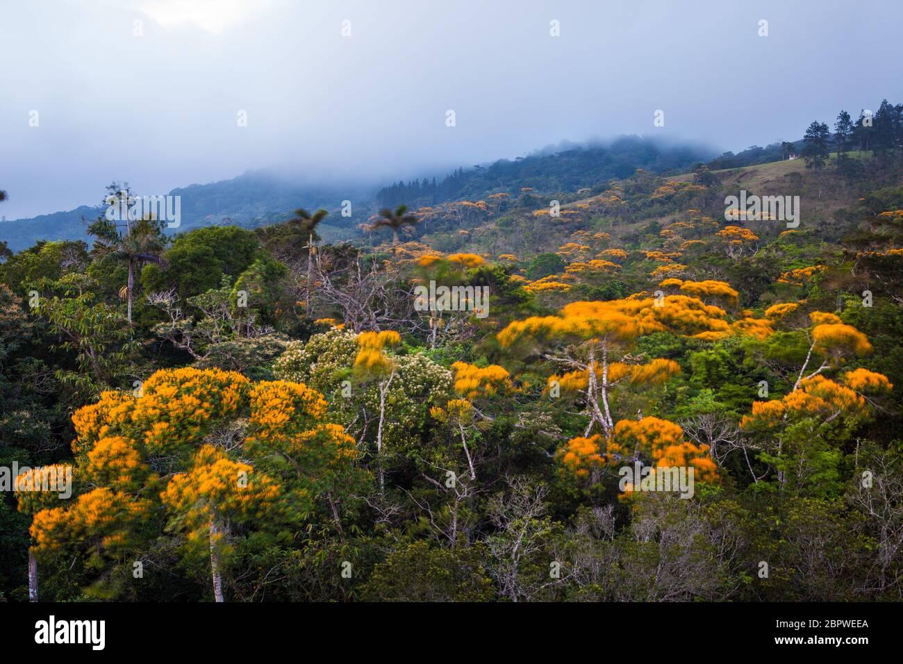 Fioritura alberi di maggio, Vochysia ferruginea, nella foresta pluviale del parco nazionale Altos de Campana, Repubblica di Panama. Foto Stock