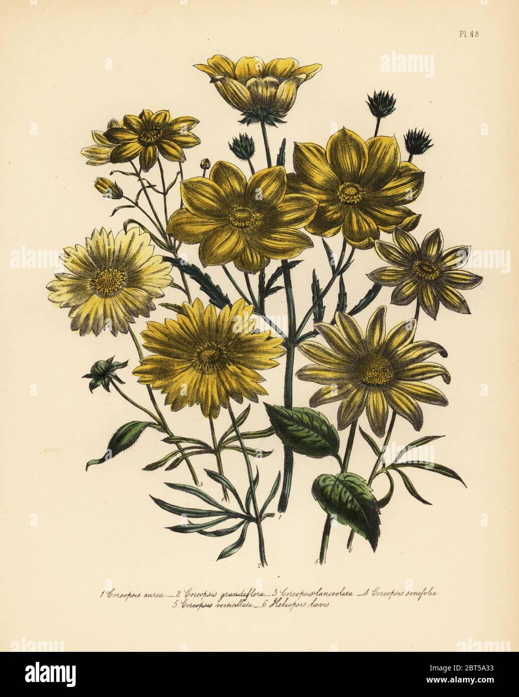 Aerlan Fiori Bellissimi Fiori,Bulbi di Giglio con Gemme in Vaso-W/_1,perenne per Il Giardino Fiori Semi