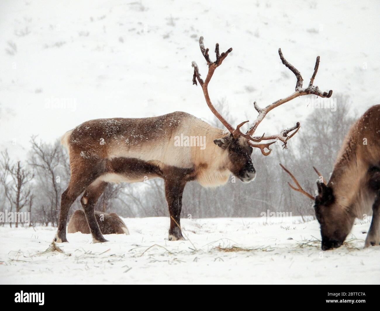 Das Ren oder rentier (Rangifer tarandus) ist eine Säugetierart aus der Familie der Hirsche (Cervidae). Foto Stock