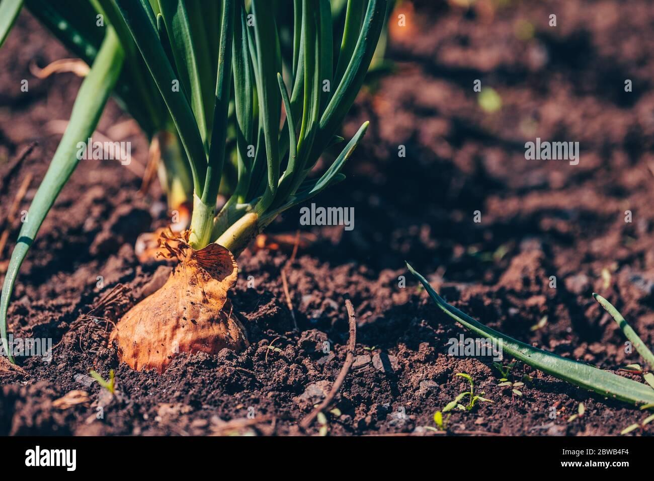 Primo piano di coltivazione della cipolla in giardino. Cipolla in fiore in terra. Concetto di spazio per il testo. Foto Stock