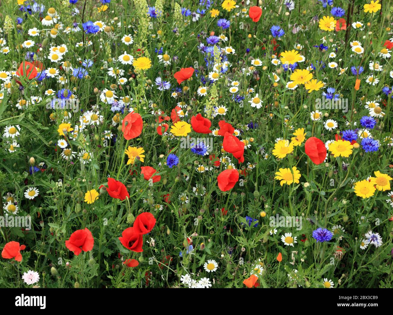 Fiore selvaggio, bordo, giardino, papavero, margherita, fiore di mais, papaveri di campo, margherite, fiori di mais, colorato Foto Stock