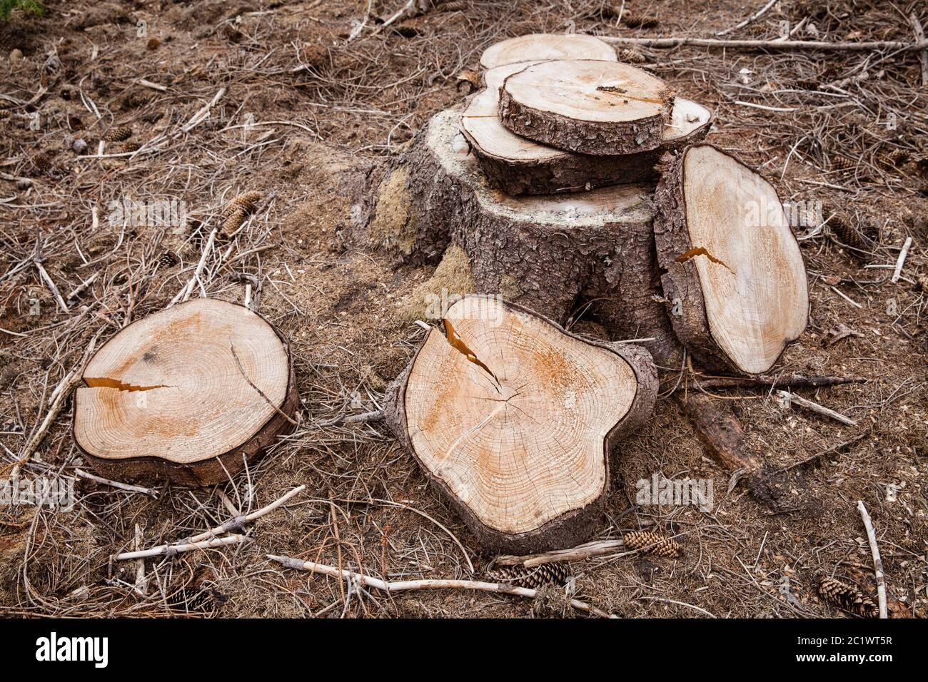 Fette di abete rosso gelificato nella foresta di Koenigsnei pressi di Colonia, Renania settentrionale-Vestfalia, Germania. Scheiben einer gefaellten Fichte im Koenigsforst bei Ko Foto Stock