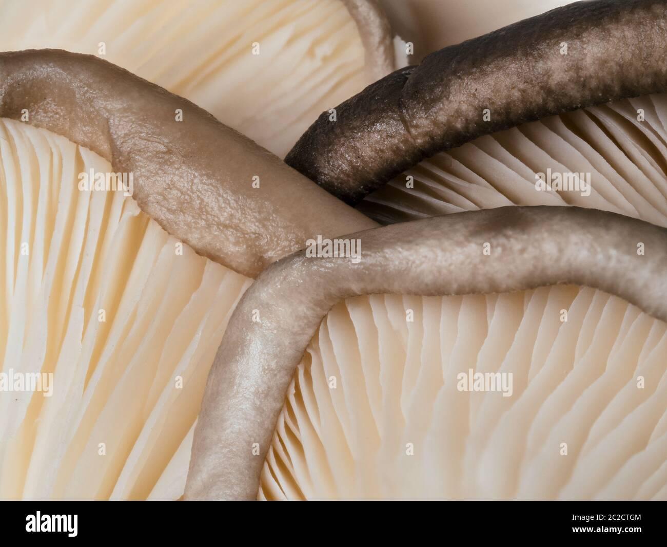 primo piano funghi di ostrica Foto Stock
