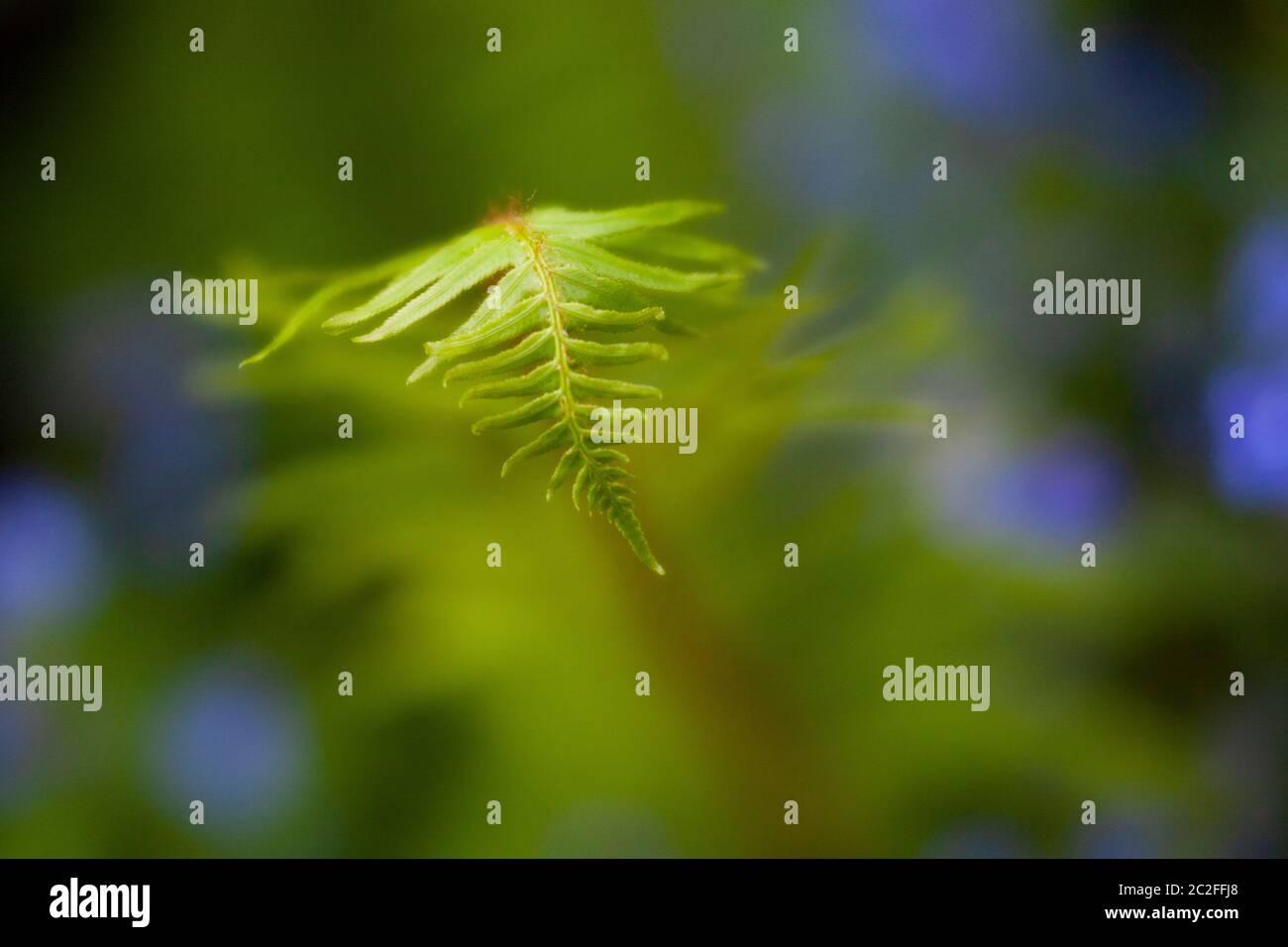 LB00215-00.....WASHINGTON - Fern in giardino urbano. Immagine Lensbaby Edge 50. Foto Stock