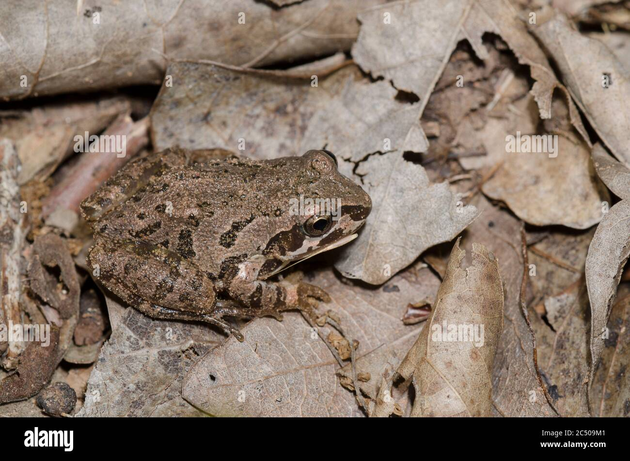 Rana di Corus di Strecker, Pseudacris streckeri, in lettiera a foglia sul pavimento della foresta Foto Stock