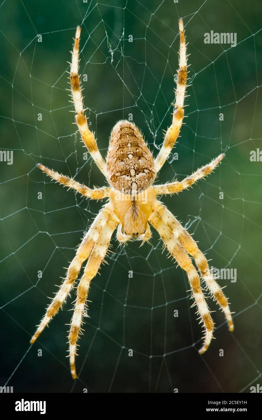 Diadem ragno, Araneus diadematus. Foto Stock