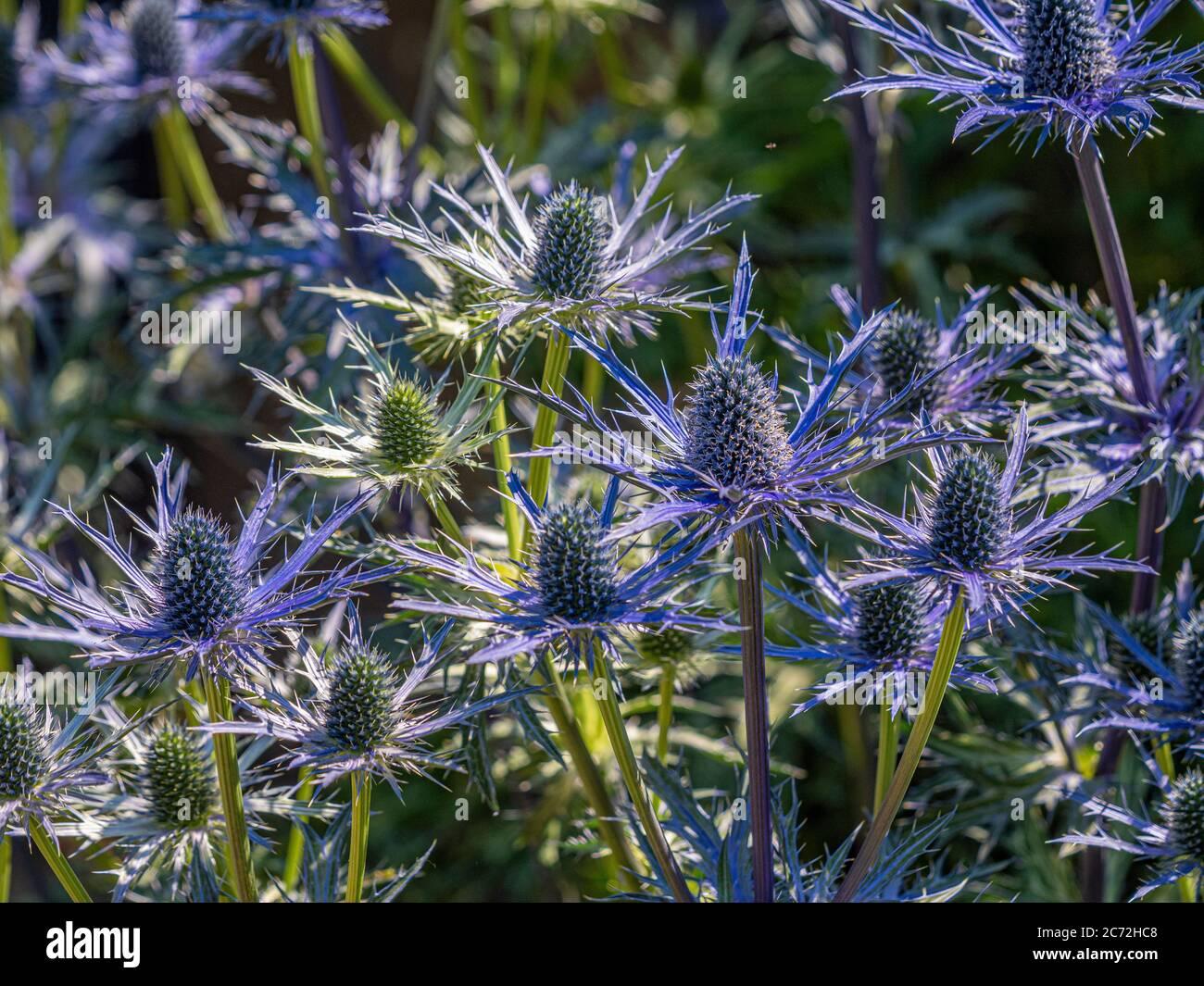 Fiori blu spiky di Eryngium che crescono in un giardino. Foto Stock