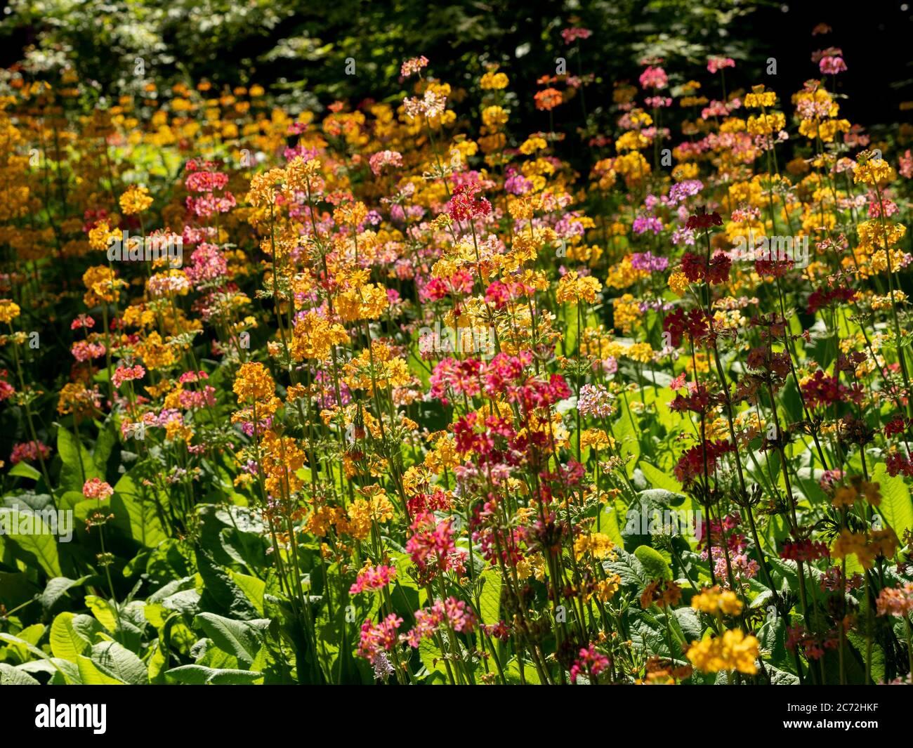 Candelabra Primula retroilluminata che cresce in un giardino. Foto Stock