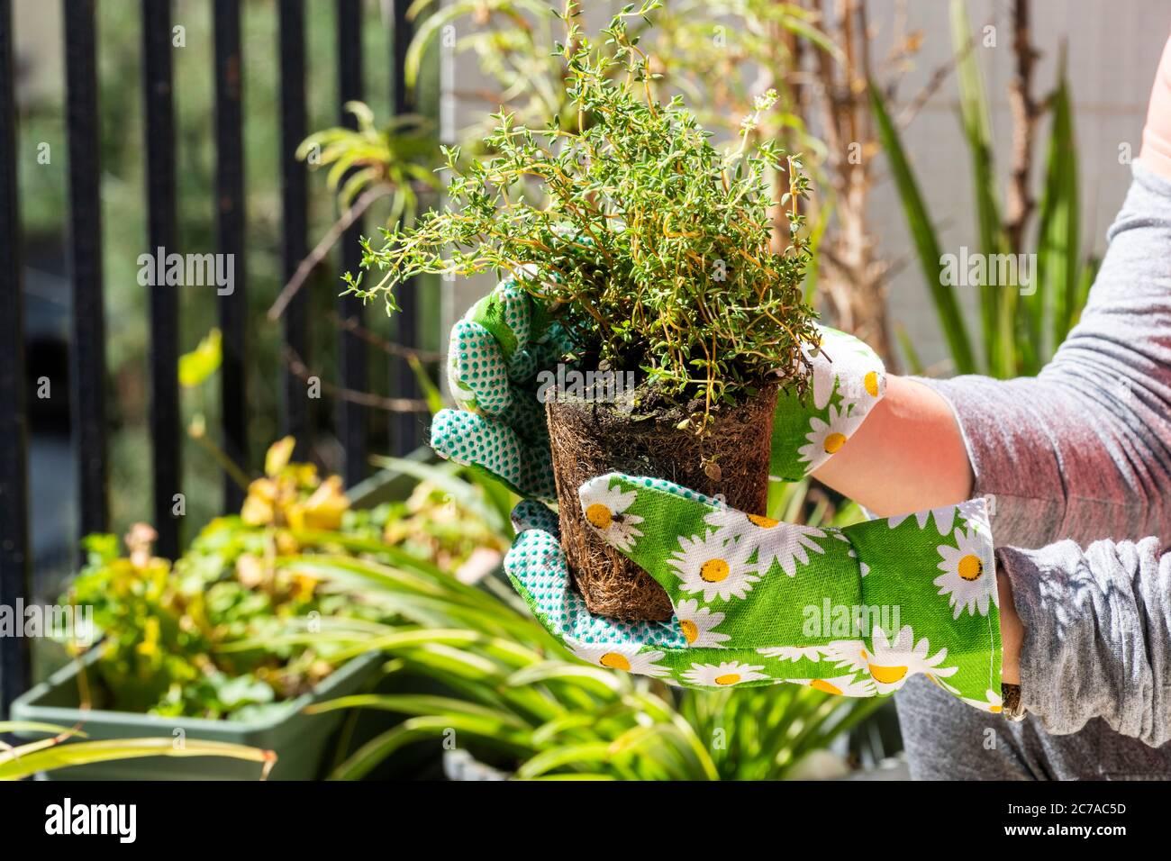 Quarantena soggiorno a Home Concept: Primo piano su una mano aggiungendo terreno ad una pentola di fiori con verdure verdi fresche. Giardinaggio alle erbe presso il balcone della città per conto proprio. Foto Stock