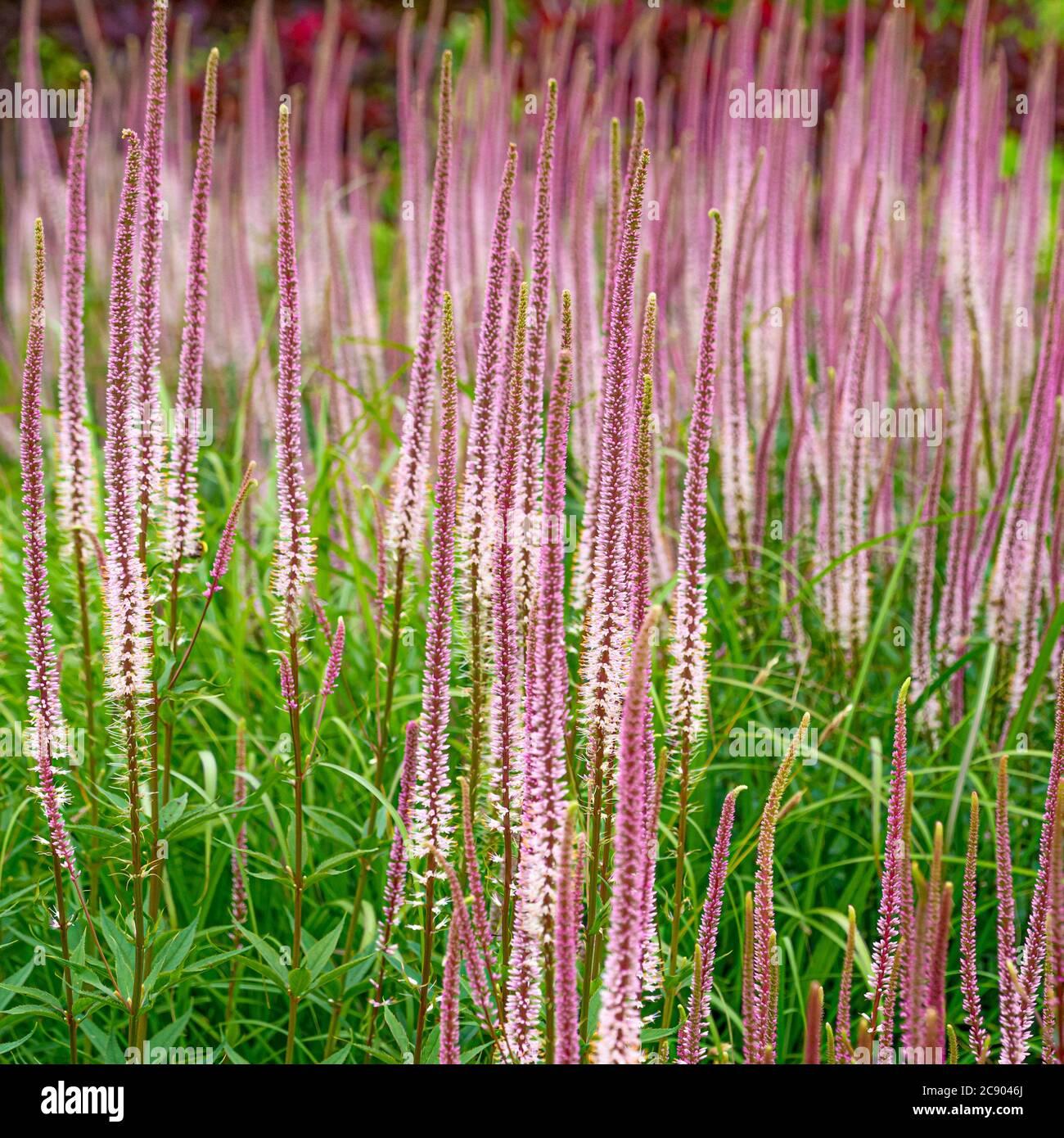 Rosa Veronicastrum virginicum Erica che cresce in un bordo di fiori. REGNO UNITO Foto Stock