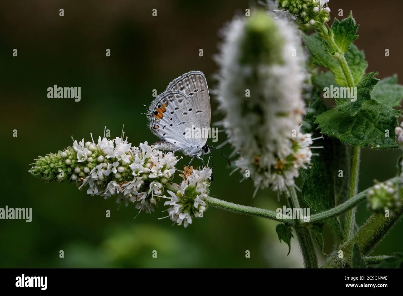 Orientale coda-blu sul fiore della menta di mela. Una farfalla comune del Nord America orientale si distingue per la sua piccola coda sottile. Foto Stock