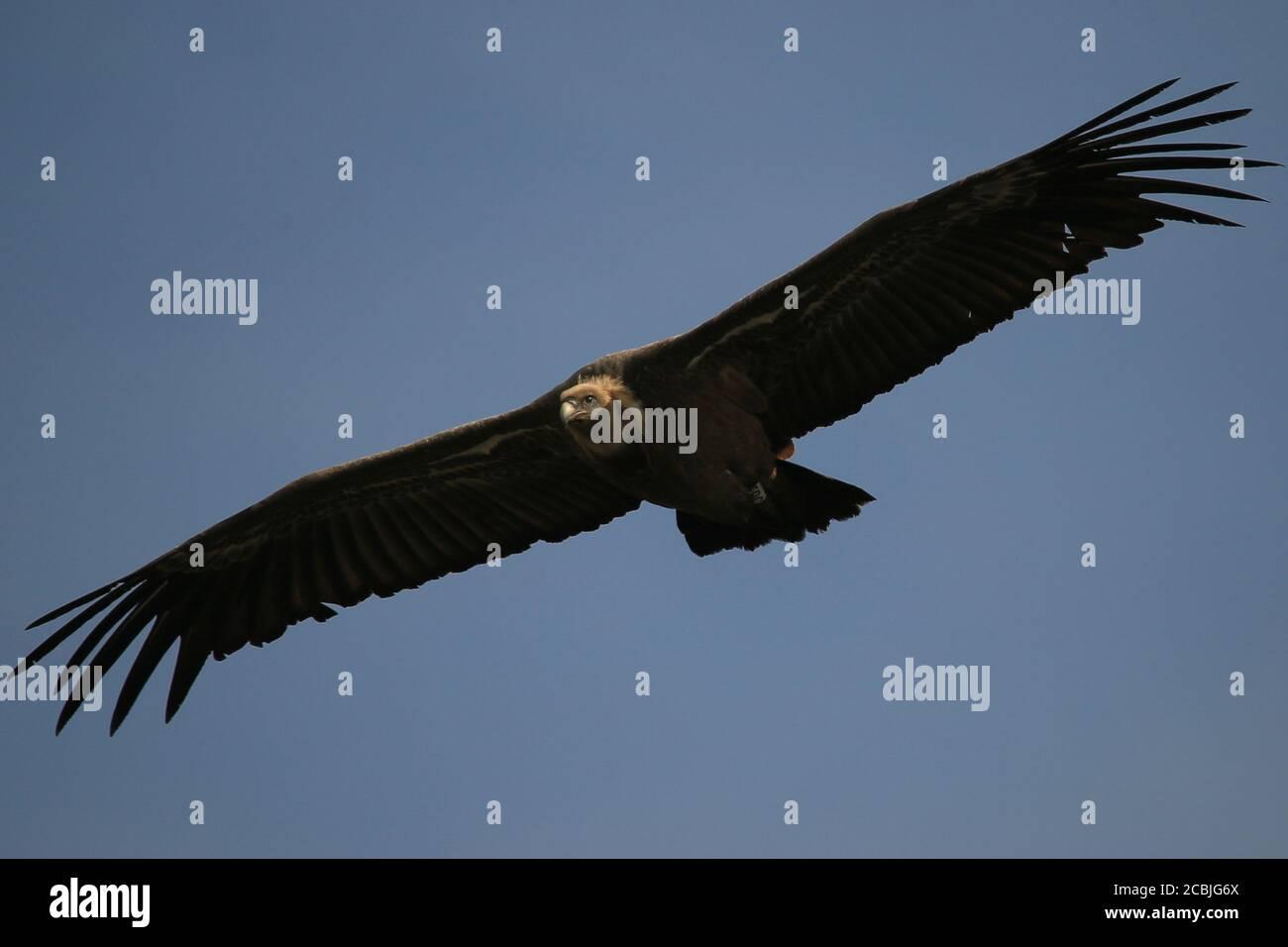 Griffon Vulture volare nelle Gorges du Verdon, Provenza, Francia. Foto Stock