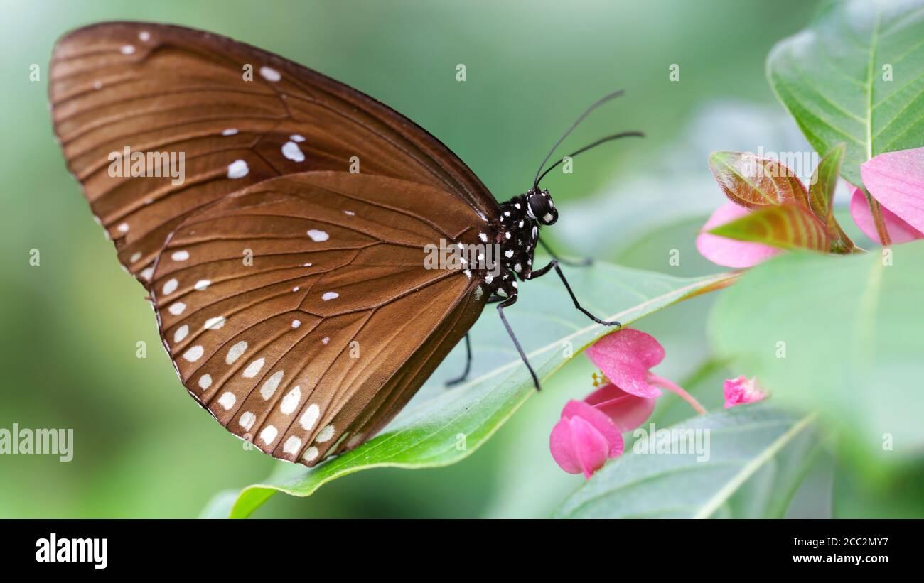 Farfalla monarca marrone su un fiore rosa, un grazioso e fragile insetto Lepidoptera famoso per la sua migrazione in massicci gruppi in tutto il mondo, macro Foto Stock