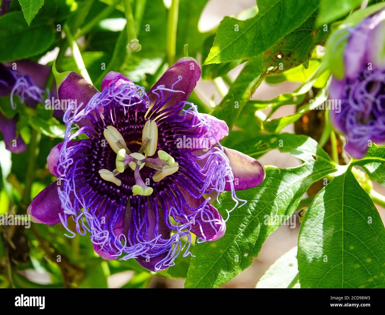 Passionflower viola, Passiflora incarnata, fiori che crescono sulla vite, Florida settentrionale, USA. Foto Stock