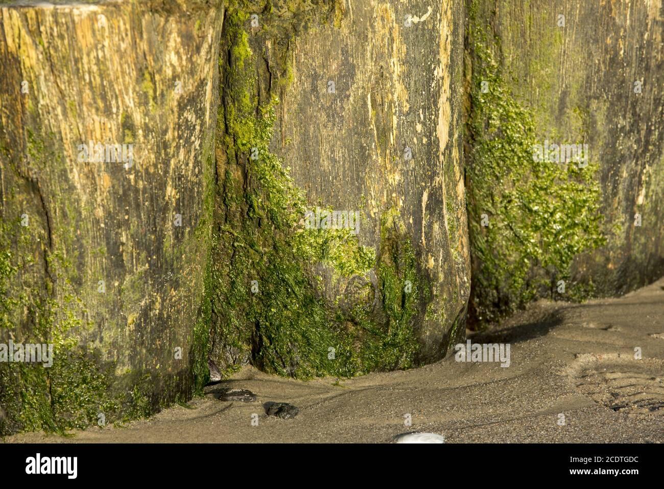 Primo piano di groynes sulla spiaggia di sabbia di cui si è addolcito alghe verdi Foto Stock