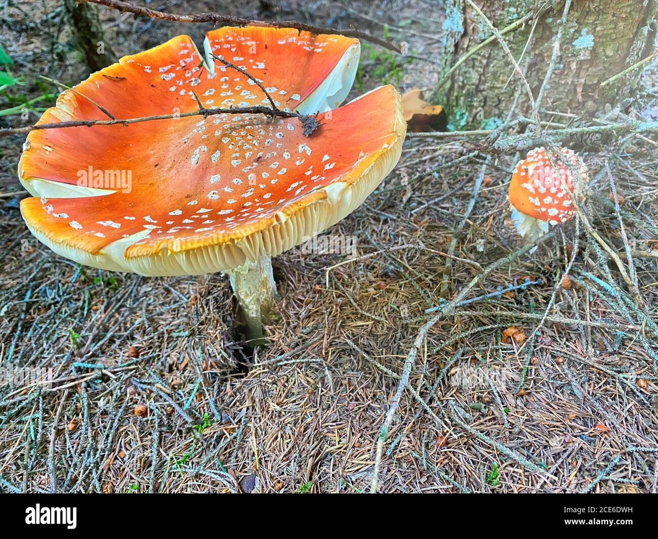 Bel fungo rosso velenoso con berretto gigante visto dal livello dell'erba. Foto Stock