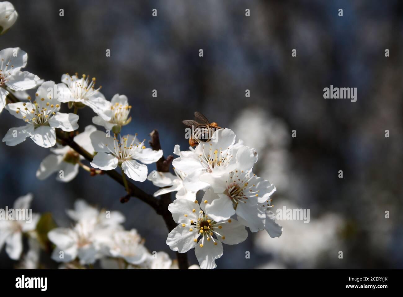 L'ape raccoglie il polline dai fiori bianchi Foto Stock