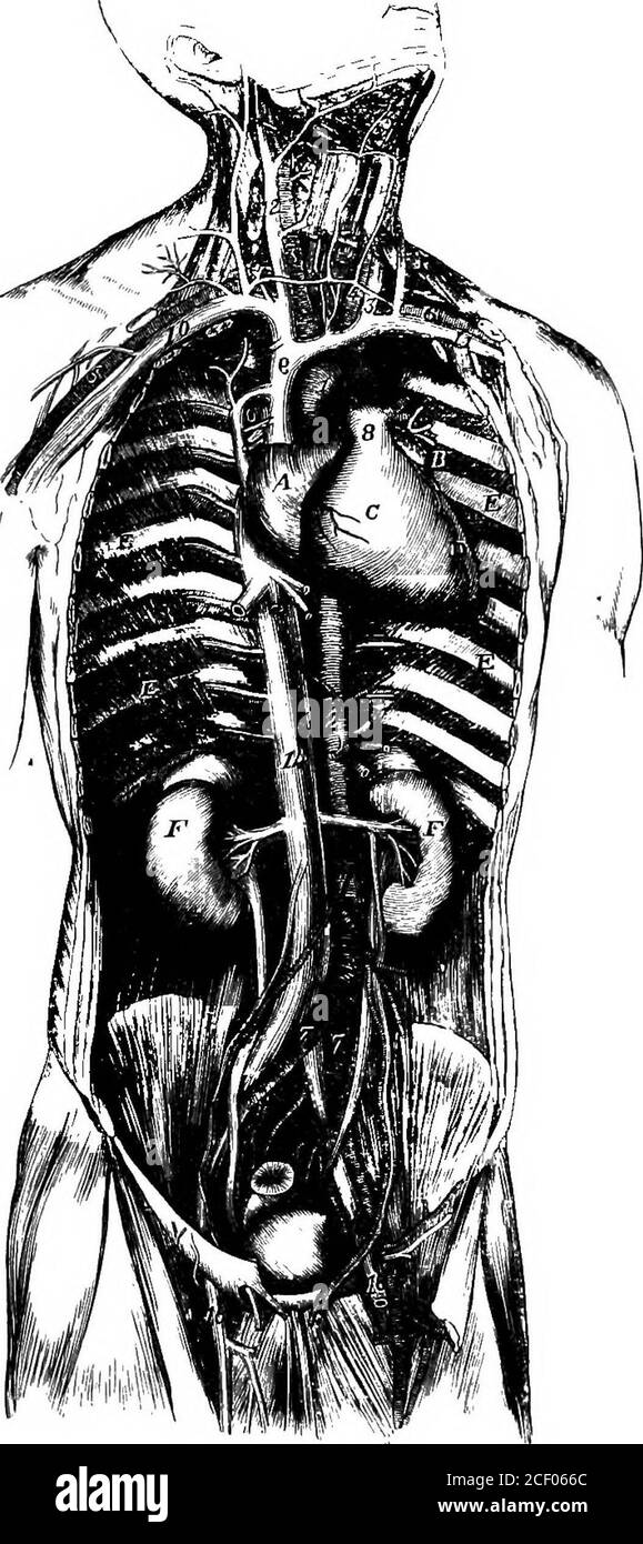 . Fisiologia umana. Fig. 128.-diagramma che illustra la circolazione. 1, auricolo destro; 2, auricolo sinistro; 3, ventricolo destro; 4, ventricolo sinistro; 5, vena cava superiore;6, vena cava inferiore; 7, arterie polmonari : 8, polmoni ; 9, vene polmonari ; 10, aorta jn, canale alimentare; is, fegato ; 13, arteia epatica ; 14, vena portale ; 15, vena epatica. La circolazione polmonare (Lat. pulmo, un polmone) non è più estesa come quella sistemica, e quindi è necessaria una forza minore. Fig. 129.- -Vista generale del cuore e dei grandi vasi sanguigni del tronco. i, orecchio destro; b, orecchio sinistro; c, ventr. Destro Foto Stock
