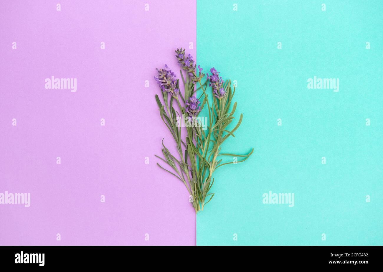 Fiori di lavanda e foglie di erbe su sfondo di lila turchese. Banner floreale Foto Stock