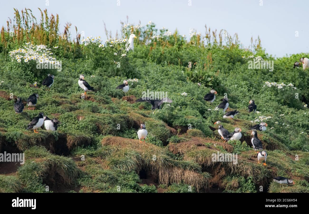 Puffins sull'isola di Lundey, Reykyavik, prendendosi cura delle loro uova e nidi. Foto Stock