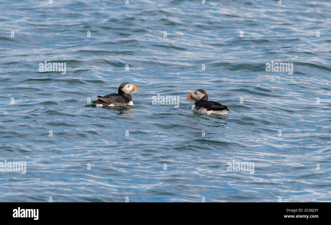 Puffin in acque islandesi, dove si spostano durante l'estate per la stagione di accoppiamento, occupato con la pesca e l'alimentazione dei loro pufflings Foto Stock