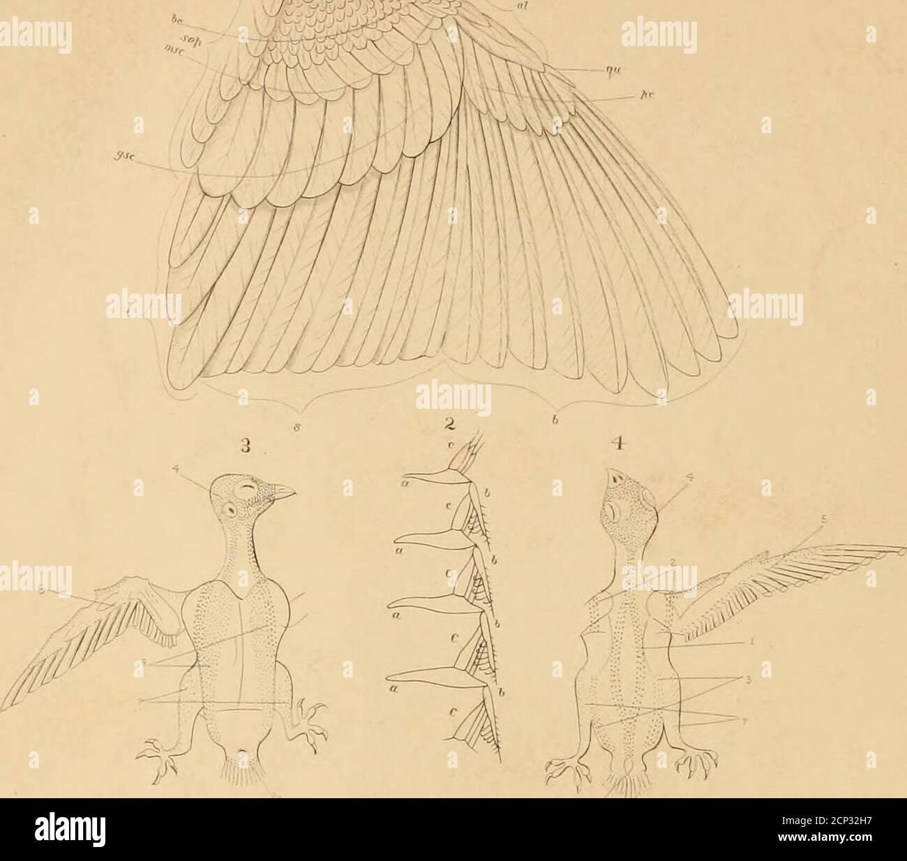 . Chiave per gli uccelli nordamericani; contenente un resoconto conciso di ogni specie di uccelli viventi e fossili attualmente conosciuta dal continente a nord del confine messicano e degli Stati Uniti . lf m/fjif,:keytonortameric00cou Foto Stock