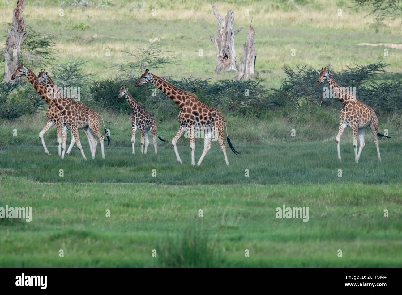 Giraffe reticolate (Giraffa camelopardalis reticulata) Foto Stock
