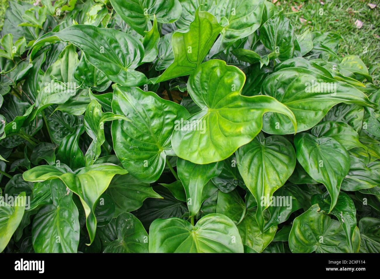 Foglie verdi tropicali, foglie tessitura asia natura immagine Foto Stock