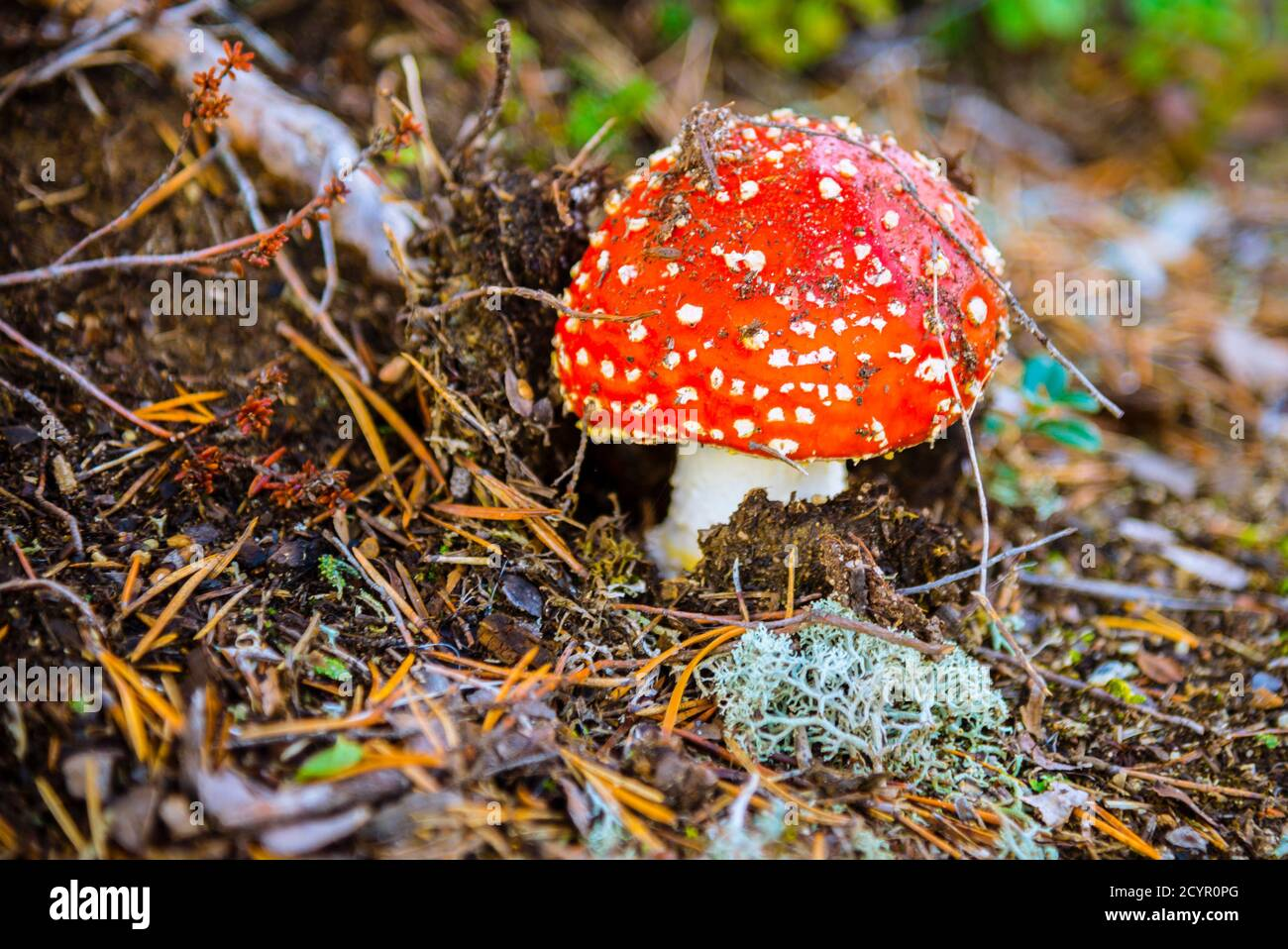 Amanita muscaria Foto Stock