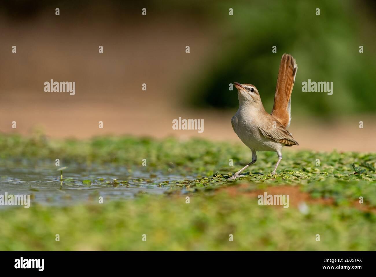 Rubini rufous-tailed (galattoti di Cercotrichas) sul terreno. Fotografato in Israele Foto Stock