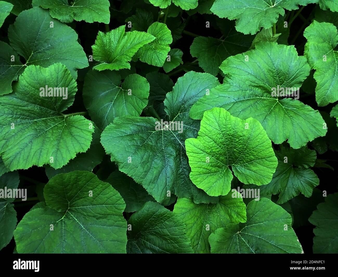 Foglie verdi isolate di rabarbaro. Foto Stock