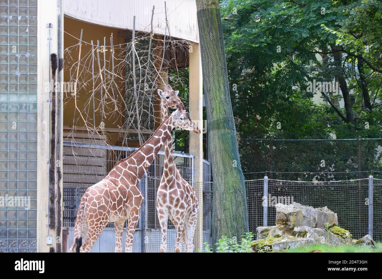 Reticolare le giraffe somali nello zoo Foto Stock