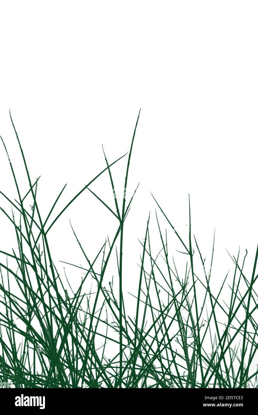 Rami di piante verdi e ramoscelli su sfondo bianco. Foto Stock