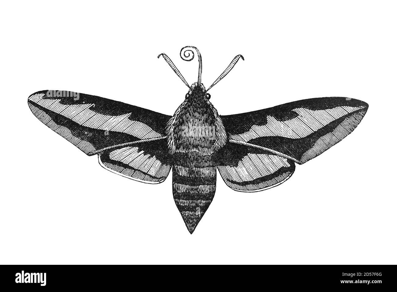 """Bedstraw falco falco insetto, illustrazione vintage. Tratto dall'antico libro """"The Playtime Naturalist"""" del Dr. J.E. Taylor, pubblicato a Londra nel Regno Unito, 1889. Foto Stock"""