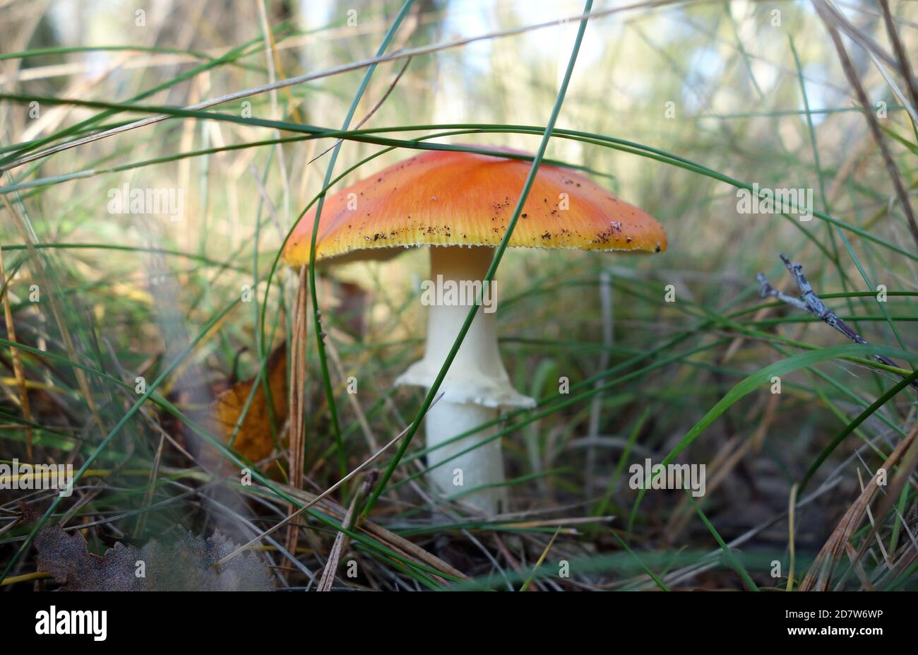 Una mosca agarica di colore arancione nella foresta senza punti bianchi. Fungo tossico. Toadsgool nel bosco circondato da erba. Foto Stock