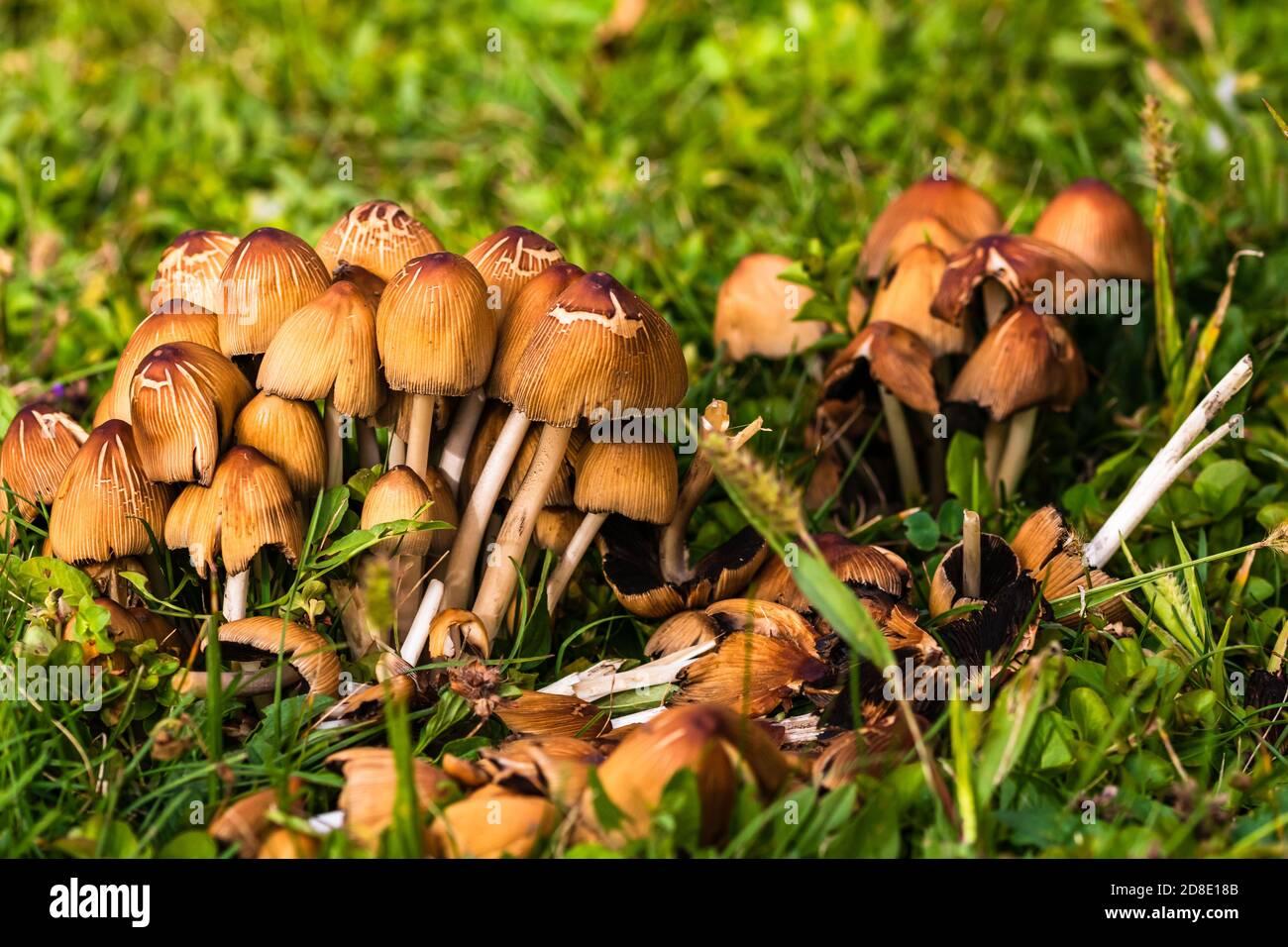 Primo piano di funghi selvatici che crescono in giardino isolato. Foto Stock