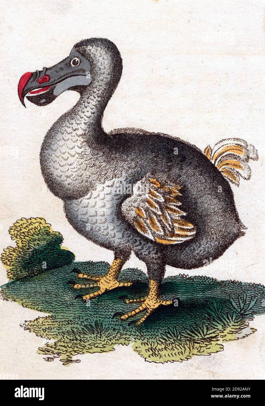 DODO Raphus cucullatus uccello senza luce in un'illustrazione del 1798 Foto Stock