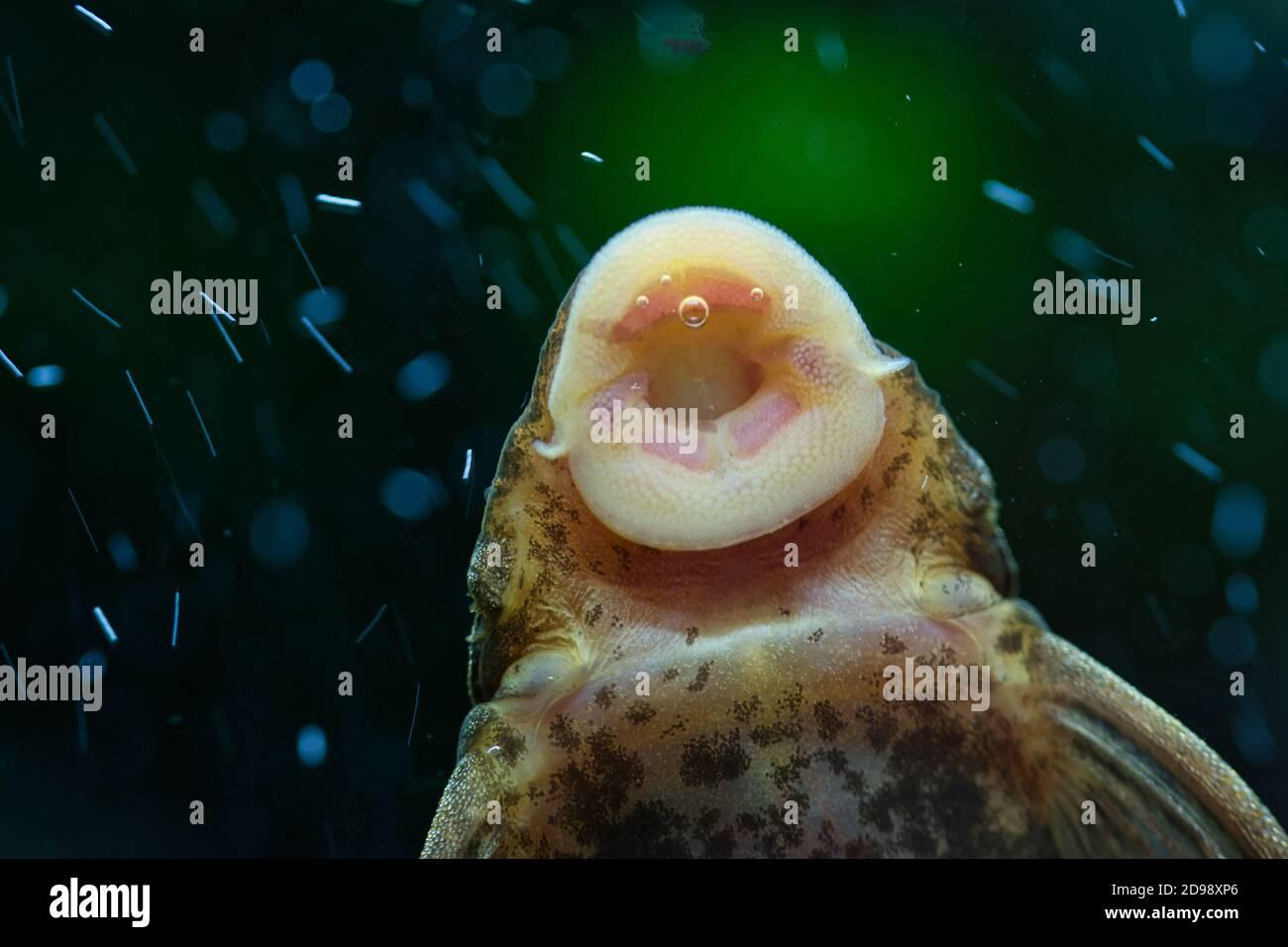 Un pesce dell'acqua delle alghe che succhia alghe dalla parete del serbatoio dell'acquario, texture ravvicinata dettagliata della bocca del pesce e della parte inferiore del corpo, sfondo verde scuro sfocato Foto Stock