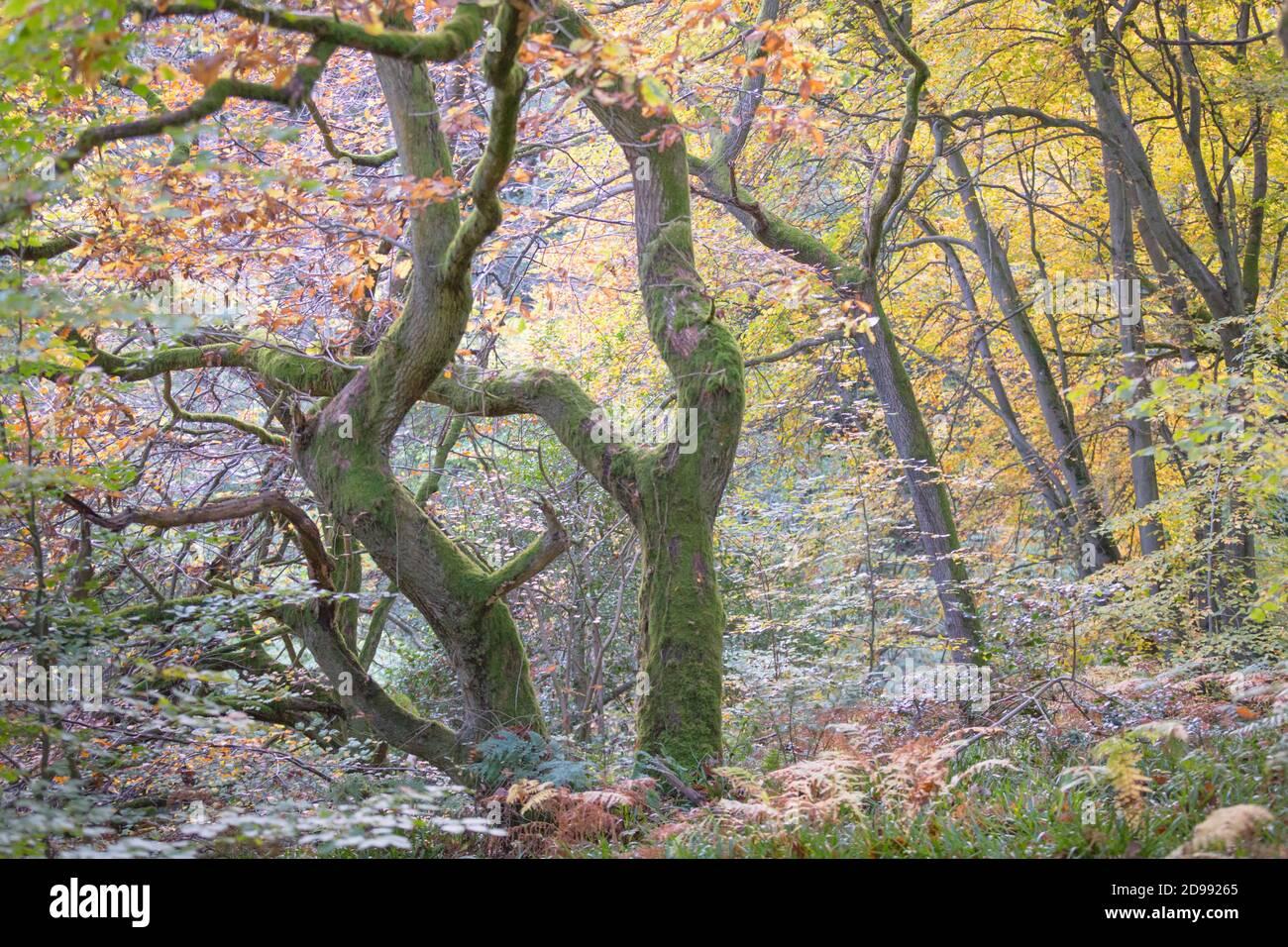 Antichi querce intrecciate in un bosco in autunno, con foglie dorate e muschio verde brillante sui tronchi e rami dell'albero. Foto Stock