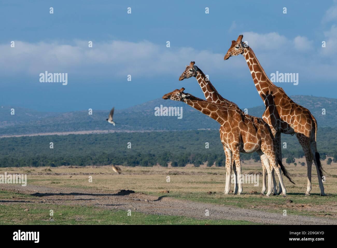 Africa, Kenya, Plateau di Laikipia, Distretto di frontiera settentrionale, Conservatorio di OL Pejeta. Giraffe reticolate (SELVATICHE: Giraffa camelopardalis reticulata) Foto Stock